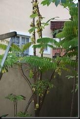 Belimbing buluh 13.2.2011 001