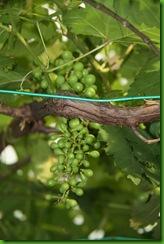 Anggur 8.3.2011 006