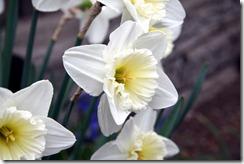 Daffodil PI