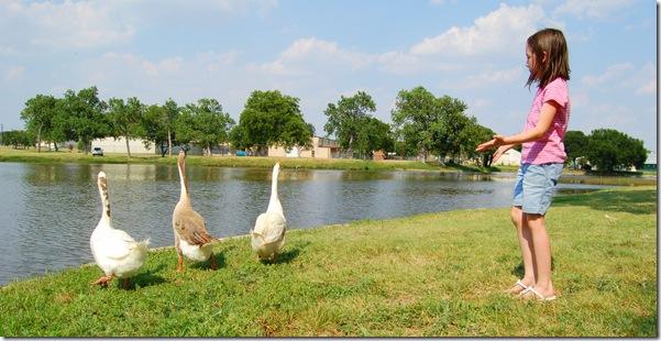 ducks11