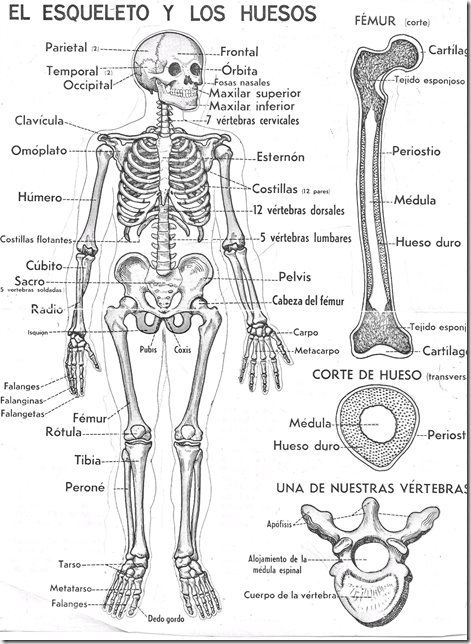 The skeleton and bones coloring pages in spanish