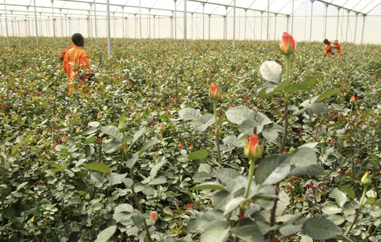 Kenya Flower Farms