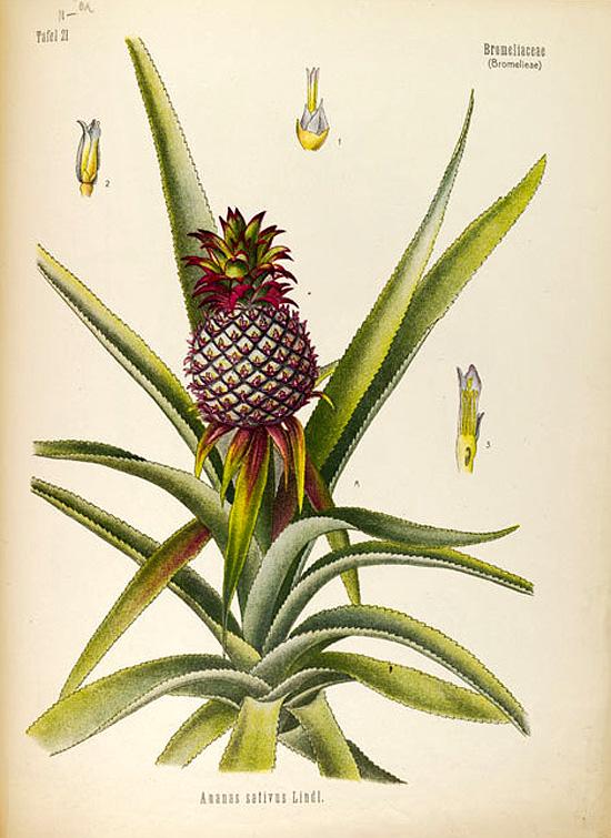 Ananas sativus