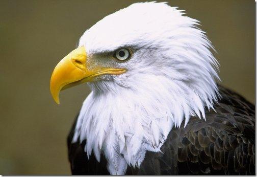 eagle wallpaper. Bald Eagle via Michael Melford