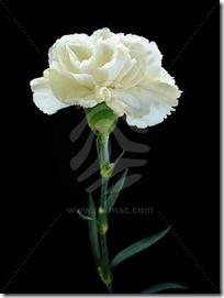 white-carnation-2