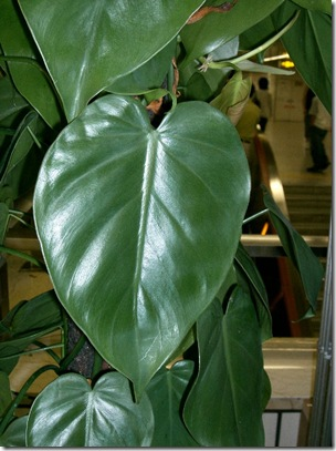Philodendron_scandens_subsp_oxycardium2