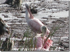 5813 Roseate Spoonbill South Padre Island Texas