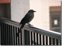5478 Bird on balcony railing at Ramada Inn South Padre Island Texas