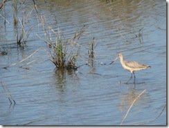 5696 Marbled Godwit South Padre Island Texas