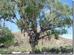 2493 Loneliest Road - Lincoln Highway Shoe Tree between Austin & Fallon NV
