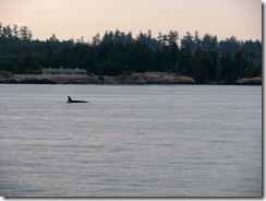 4994 Orca Whale Watching Victoria BC