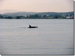 5002 Orca Whale Watching Victoria BC