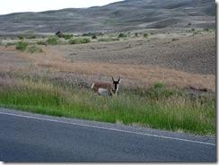 5802 Pronghorn Antelope near Roosevelt Arch Yellowstone National Park