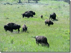 5880 Herd of Bison Yellowstone National Park