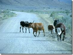 6108 Cattle on Elk Basin Road MT
