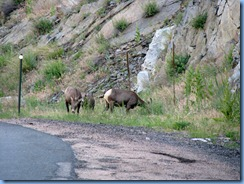 8444 Big Horn Sheep on US 34 to RMNP