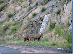 8445 Big Horn Sheep on US 34 to RMNP