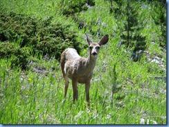 8678 Mule Deer Snowy Range Scenic Byway WY