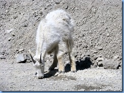 9568 Mountain Goat Going To The Sun Road GNP MT