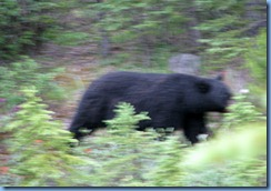 10198 Black Bear Banff National Park AB