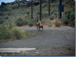 1523 Deer at Lava Beds National Monument CA