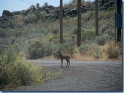 1524 Deer at Lava Beds National Monument CA