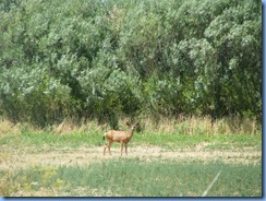 1590 Deer between LBNM & Redding CA