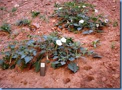 3513 Sacred Datura Weeping Rock Zion National Park UT