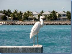 7297 Key West FL - Conch Tour Train 1st stop Mallory Square - Great White Heron