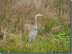 7404 Everglades National Park FL- Royal Palm Anhinga Trail - Great Blue Heron