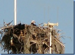 7474a Everglades National Park FL- Flamingo Visitor Center - Osprey nest & Osprey