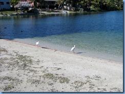 6980 Cutler Bay  FL walk White Ibises