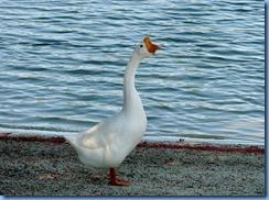 6995 Cutler Bay  FL walk Domestic Goose