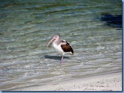 7006 Cutler Bay  FL walk juvenile White Ibis