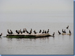 7047 Biscayne National Park FL Glass Bottom Boat -Cormorants