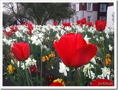 Tulips near High Street Kensington