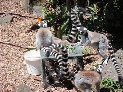 Stripes Make the Lemurs Look Like Bandits