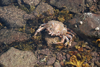 extremely large dead crab in a tide pool