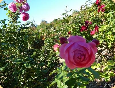 Rose4w