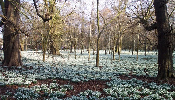 Welford_Park_Snowdrops_1