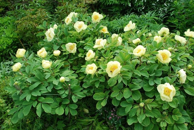 6. Paeonia mlokosewitschii