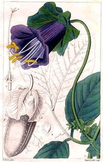 cobaea scandens Pancrace_Bessa01