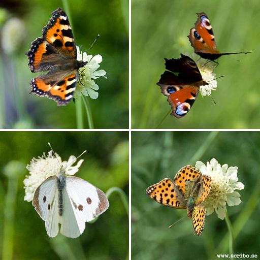 Nässelfjäril, Påfågelsöga, Kålfjäril och Storfläckig pärlemorfjäril