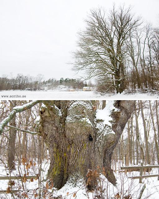 Uppsalas största ek i norra delen av Vårdsätra naturpark
