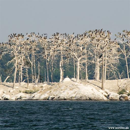 Skarvkolonin på Käringholmen med döda träd