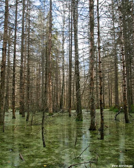 Vatten och döda träd i Micksmossen, Lunsen