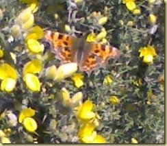 butterfly on gorse