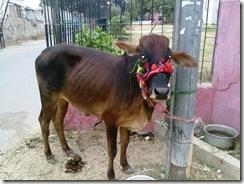 2010-11-09 Eid ul Azha Sacrificial Cow 054