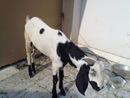 Sacrificial Goat 004
