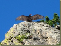 Turkey Vulture warming wings